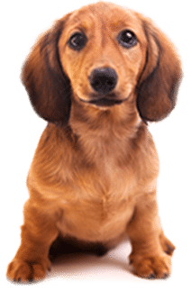 Dachshund sitting: Animal Hospital in Marinette