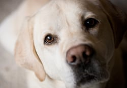 White labrador: Animal Hospital in Marinette
